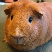 Guinea Pig Wheekly