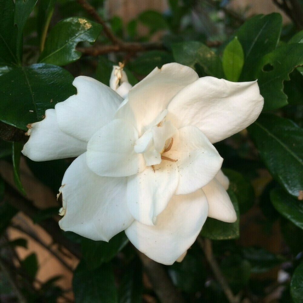 Photo of a gardenia flower slightly illuminated by late afternoon sun