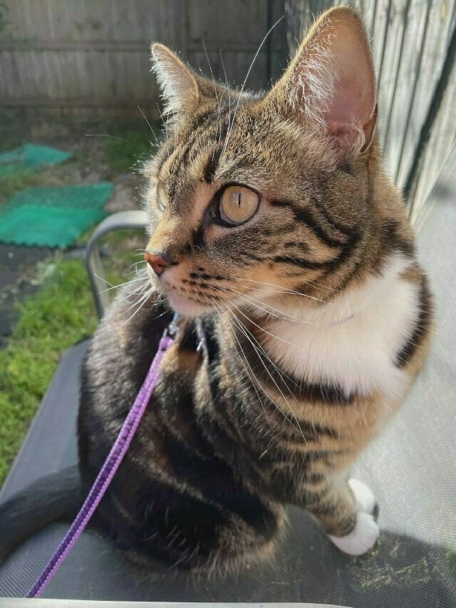 a tabby cat on an outdoor chair in a purple harness, looking up and to the left of frame